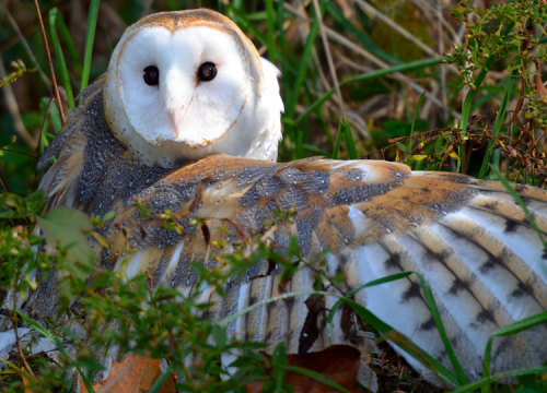 Storm, the Barn Owl via Red & the Peanut