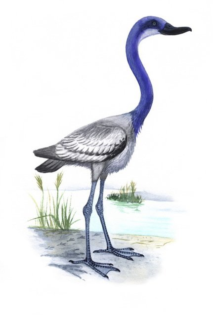 lostbeasts:  Presbyornis.Very likely one of the most common Eocene birds, judging by an abundance of footprints and fossils that have been discovered within ancient lake beds. It nested along the waterside in huge colonies, and fed by filtering tiny organisms and plant matter through its broad shallow bill- much like a typical dabbling duck. Because it is anatomically so similar to both the Anseriformes (waterfowl) and Phoenicopteriformes (flamingos) it is thought that they could have shared a common ancestor.