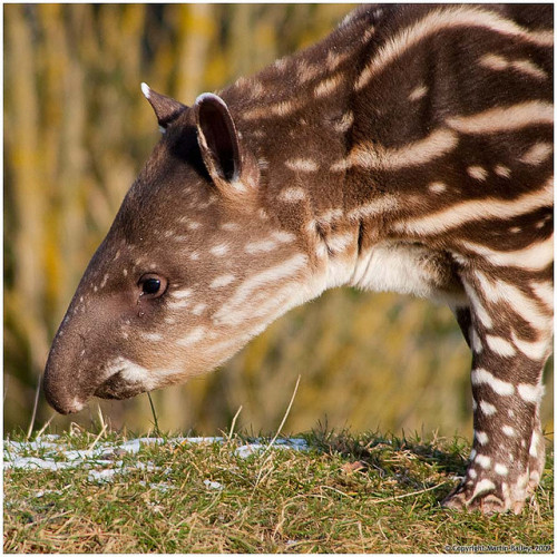 worldlyanimals:  Baby tapir (Beardy Git)