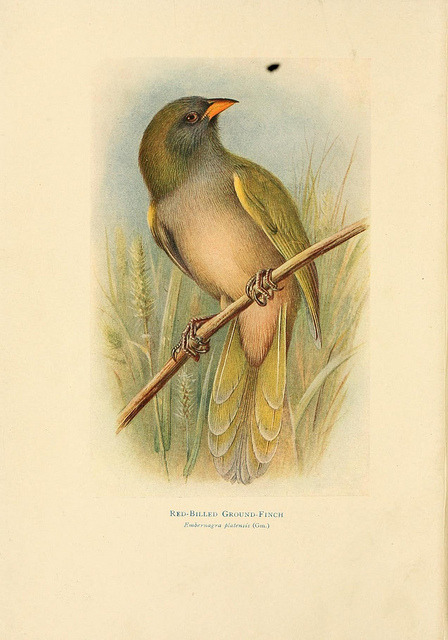 Red-billed Ground-Finch by BioDivLibrary on Flickr. Birds of La Plata,. London [etc.] :E.P. Dutton Co.,1920..biodiversitylibrary.org/page/14376781