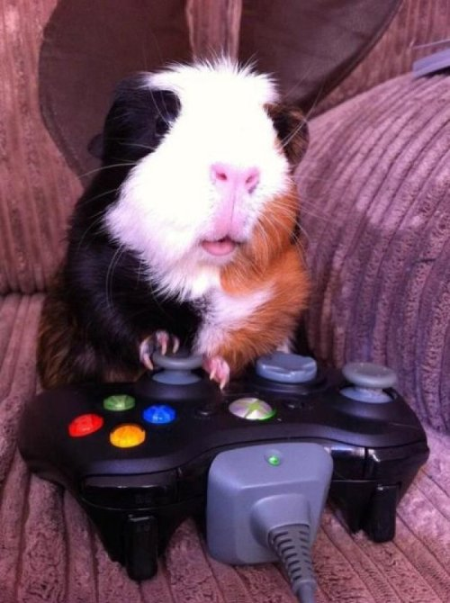 "Guinea Pig Playing Xbox ""Get that god damn camera out of my face! I'm trying to play Kinect Sports."""