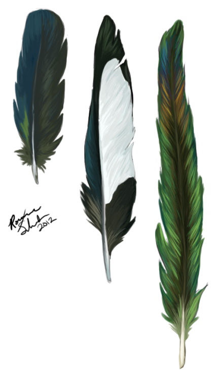 Black-billed Magpie (Pica hudsonia) feather study. Sizes not to scale.