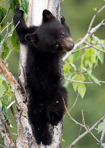 bl-ackleopard:  redwingjohnny:  Black Bear Cub by nancyjwagner on Flickr.     ☯ NATURE/WILDLIFE BLOG ☯