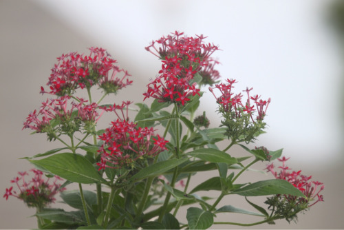 Another of the plants I added to my container garden to attract Hummingbirds, Bees and Butterflies.  This is a Red Pentas.    I also added a pink Pentas to the mix.     The picture looks odd because I forgot I had a polarizing filter on my 70-300 lens.