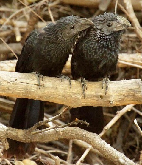 Two Groove-billed Anis (Crotophaga sulcirostris) snuggle up in the gardens of the North American Butterfly Association BUtterfly center in Mission,TX, USA (photo: Bill Supulski)