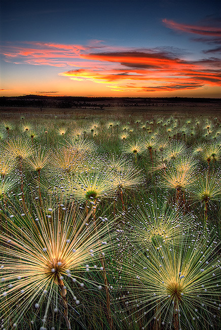 bluepueblo:  Wildflowers, Cerrado, Mato Grosso, Brazil photo via maltruis