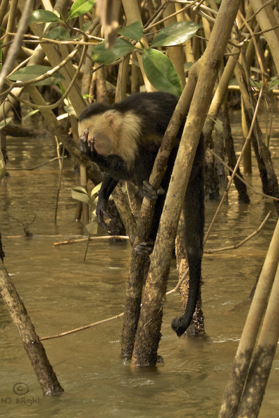 White-faced capuchin sneaking a drink in the mangroves of Costa Rica. He would stretch his long arm down into the water, scoop up a handful and then drink from his palm. I was fascinated with his ling fingers.