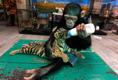 "Two-year-old chimpanzee ""Do Do"" feeds milk to ""Aorn"", a 60-day-old tiger cub. @buzzfeed.com"
