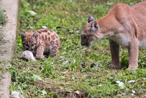 tigersandcompany:  Pumas (by CROW1973)