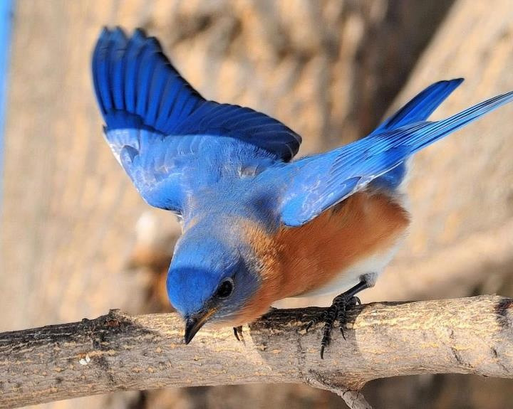 Photo from 'Wild for Wildlife and Nature'… The Blue Bird, symbol of the Quest of Happiness