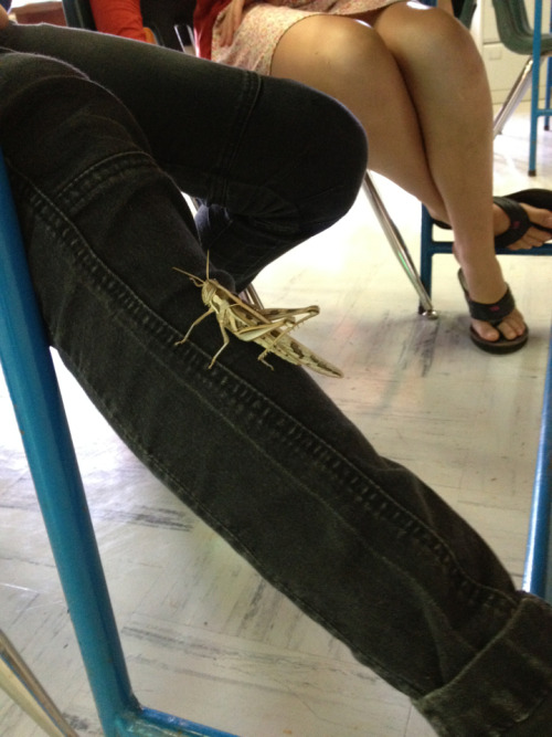 Check out this huge grasshopper that was on one of my students in the middle of my Integrated Math 2 class. Surprisingly, she was totally cool and didn't freak out