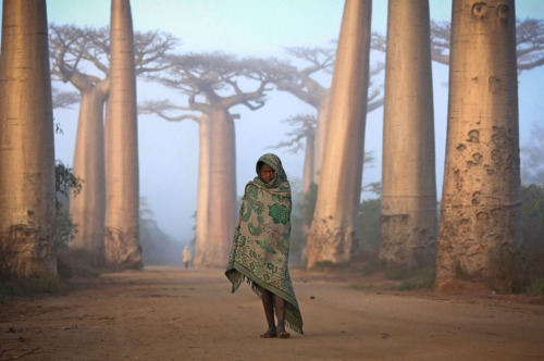 "sustainable-sam:  theatlantic:  ""Near the city of Morondava, on the West coast of Madagascar lies an ancient forest of Baobab trees. Unique to Madagascar, the endemic species is sacred to the Malagasy people, and rightly so. Walking amongst these giants is like nothing else on this planet. Some of the trees here are over a thousand years old. It is a spiritual place, almost magical."" [Image: Ken Thorne/National Geographic Traveler Photo Contest]  I remember growing up and wanting to live in one with the Little Prince and Rafiki."