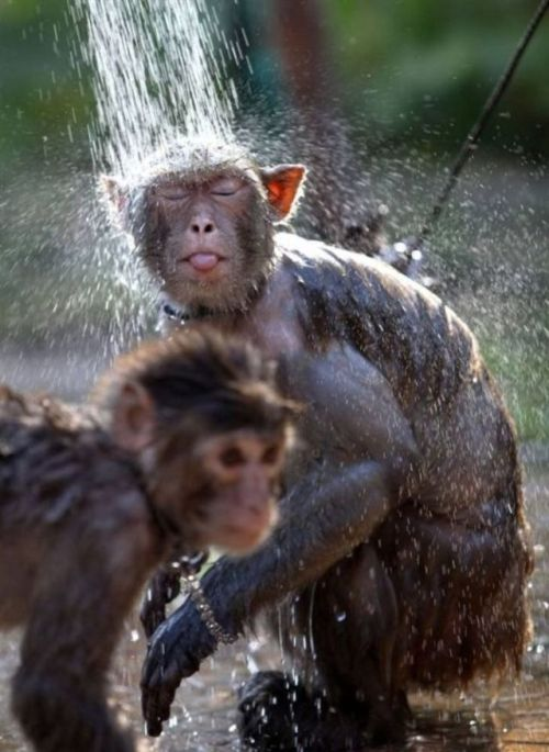 funnywildlife:  Monkey Shower, awww and the older one's got bling!!http://wildography.co.uk/cute-zone/