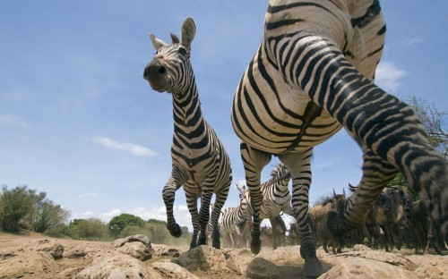 Zebras stampede over a hidden camera during the annual migration in Masai Mara, Kenya. Irish photographer Paul Mckenzie hid a camera inside a fake plastic rock during the annual migration in Kenya's Masai Mara national reserve. @telegraph.co.uk