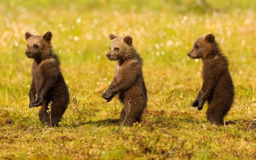 Three bear cubs seem to be auditioning for a musical about a girl group such as the Supremes, as they play together in a forest in Finland. Ears pricked, these three little bear cubs stand on the lookout for danger. Wildlife photographer Jules Cox stayed overnight in a wooden hide to capture the brown bears. Picture: Julian Cox/Solent News & Photo Agency