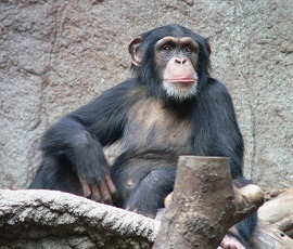 "Chimps and Bonobos Found to Lack Sense of Fairness, Uniquely Human Characteristic  The scientists, including Prof. Keith Jensen, from Queen Mary's School of Biological and Chemical Sciences, put the apes through a series of ultimatum games. One against the other, they had to choose whether to steal or leave the other's grapes. The games were set up in a variety of different ways involving equal proportions of grapes and others were split with a higher proportion given to one over the other. ""In each scenario one ape had to choose whether to steal the grapes or leave a portion of grapes for the other. We found that consistently they would steal the food without taking into account whether their action would have an effect on their partner."" ""Neither the chimpanzees nor bonobos seemed to care whether food was stolen or not, or whether the outcomes were fair or not, as long as they got something. Our findings support other studies of chimpanzees but also extend these to bonobos. Both apes have no concern for fairness or the effects that their choices may have on others; in stark contrast to the way humans behave,""   Read more: http://www.laboratoryequipment.com/news/2012/08/chimps-don%E2%80%99t-care-about-fairness"