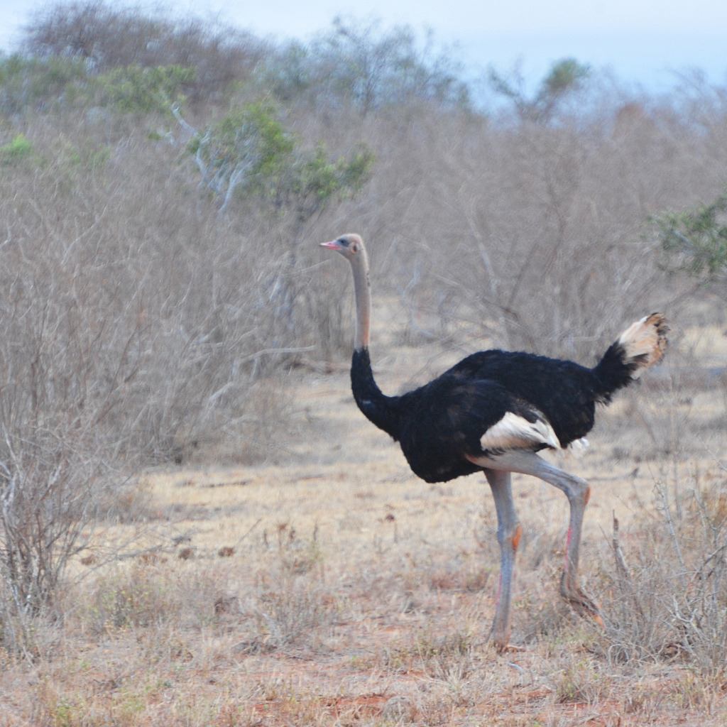 Ostrich (largest bird in the world)  (by tango-)