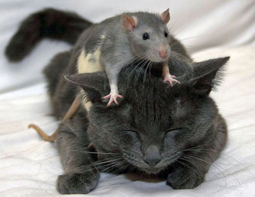 Cat and rat :)