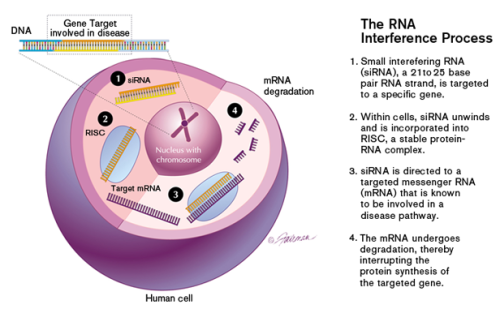 "New Technology Delivers RNA Interference Therapy Directly to the Brain  RNAi therapy involves researchers producing snippets of RNA, a close relative of DNA, that match a portion of a gene of interest. When administered, this so-called small interfering RNA (siRNA) causes the destruction of that gene's products before it can be turned into a protein. The specificity of RNAi for targeting particular genes has attracted a lot of interest from people who want to use it as a clinical treatment. ""Today's platforms target the protein that causes the disease and bind to that protein. We stop the protein from being made in the first place,"" …But a recurring challenge for the therapeutic RNAi field is how to deliver the siRNAs to the right place in the body. On their own, the small molecules do not survive long in the bloodstream, so simply injecting a patient with a solution of unprotected siRNAs is not effective. ""The key technical hurdle is getting the siRNA [inside] the right cells,"" says Greene. For several of its projects, Alnylam uses nanoparticles to protect and deliver its siRNAs, which can then be delivered by injection. But for genetic diseases that originate in the brain, the body's own defenses, namely the blood-brain barrier, complicate delivery further. To circumvent the blood-brain barrier, which prevents most molecules from leaving the bloodstream and entering the brain, Alnylam has looked to a different delivery mechanism: direct dosing of unpackaged siRNAs.  (via Gene Control, Delivered Directly to the Brain - Technology Review)"