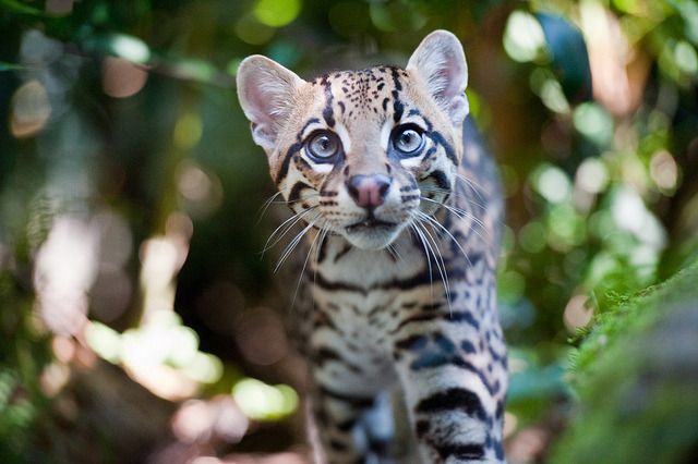 Ocelot (Leopardus pardalis) 01 by Gio'71 on Flickr.