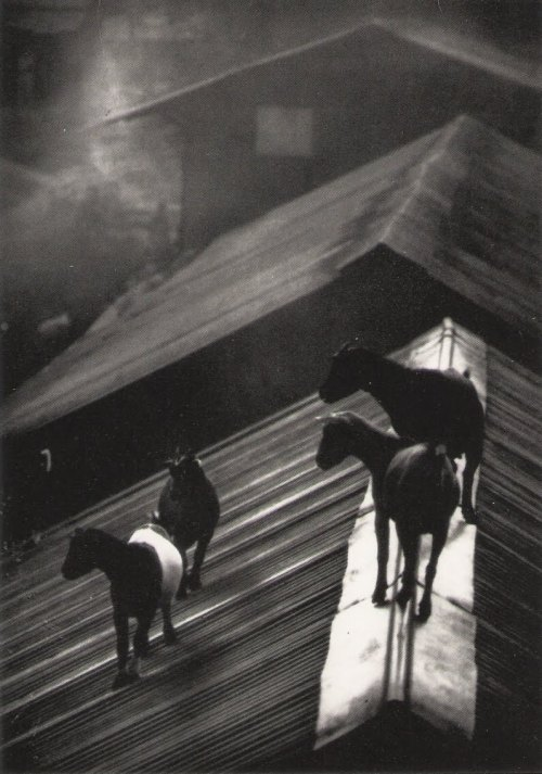 "anothereview:  W. Eugene Smith ""Goats Lambarene"" from ""A Man of Mercy"" essay. 1954"
