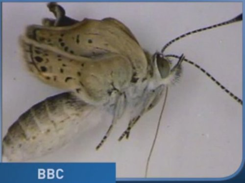 moseisleywelcomingcommittee:  Mutant Butterflies Found After Fukushima Nuclear Disaster In Japan (VIDEO) @huffingtonpost.com