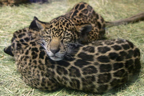 sdzoo:  Soft pillow by Penny Hyde on Flickr.