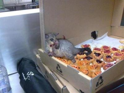 eighthandocean:  gnometeeth:   A possum broke into an Australian bakery and ate so many pastries it couldn't move. This is how they found him.  I live for this post  Poor guy :(