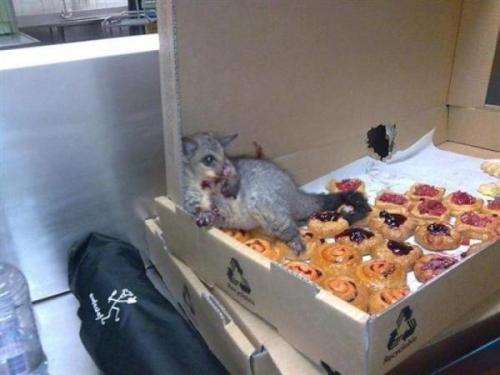 merkshwasty:  gnometeeth:   A possum broke into an Australian bakery and ate so many pastries it couldn't move. This is how they found him.  I live for this post  Lmfao