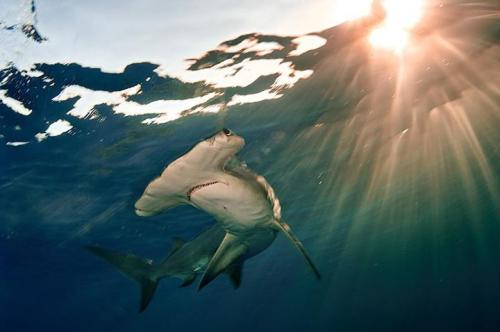 Hammerhead (Sphyrna sp.) -  photo by Brian Skerry (via: Smithsonian's Ocean Portal)