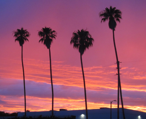 palm trees with a summer sunset in Venice Beach, CA
