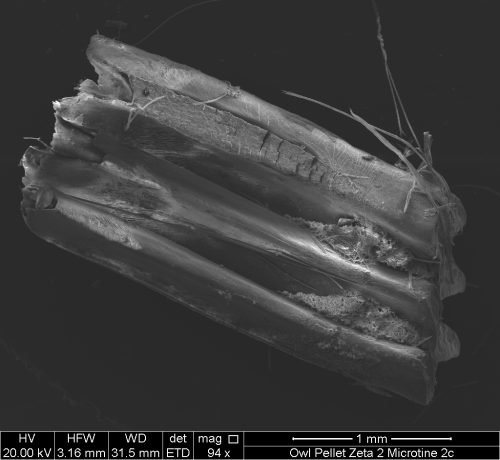 Scanning electron micrograph of a microtine rodent tooth, showing both normal wear patterns and gastric etching (lower left). From an owl pellet collected in southeastern Washington. Image property of Whitman College, geology department.