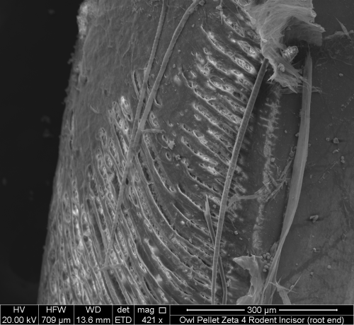 Scanning electron micrograph of the root end of a rodent incisor, bearing seriously gnarly etch marks from digestion inside of a carnivore's gut (or so we think!). Image property of Whitman College, geology department.