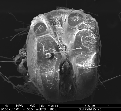 Scanning electron micrograph of a rodent molar in occlusal view. Image property of Whitman College, geology department.