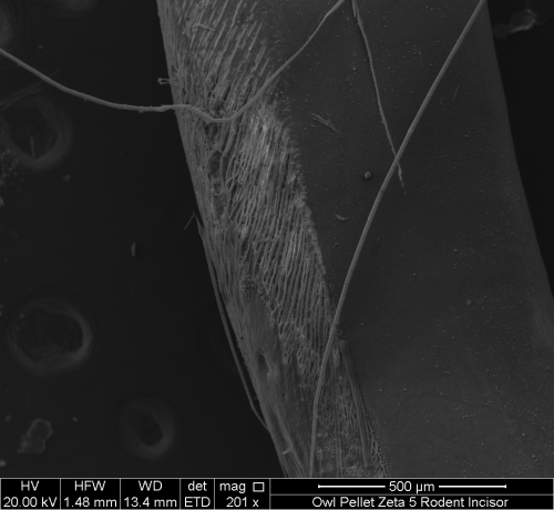 Scanning electron micrograph of a rodent incisor with gastric etch marks. Tooth from an owl pellet collected outside of Walla Walla, Washington. Image courtesy of Whitman College, geology department.