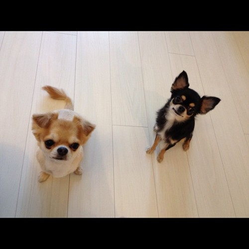 riyoshiki:  good morning☀ #dog #chihuahua #ちわわ (Instagramで撮影)