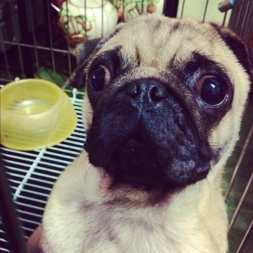 Lucho's BIIIIIIG eyes👀#pug#pugs#dog#dogs#pet#pets#cute#adorable (Taken with Instagram)