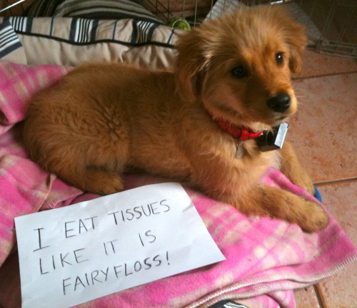 dogshaming:  Edit: Not sure who originally submitted this, but if you know this criminal say so in the askbox, or meanwhile you should submit a dog that needs to be shamed
