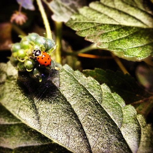 #ladybug #goodluck (Taken with Instagram)