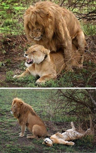 funnywildlife:  joiya:  dick too bomb  Lol, lions do the funniest sex faces