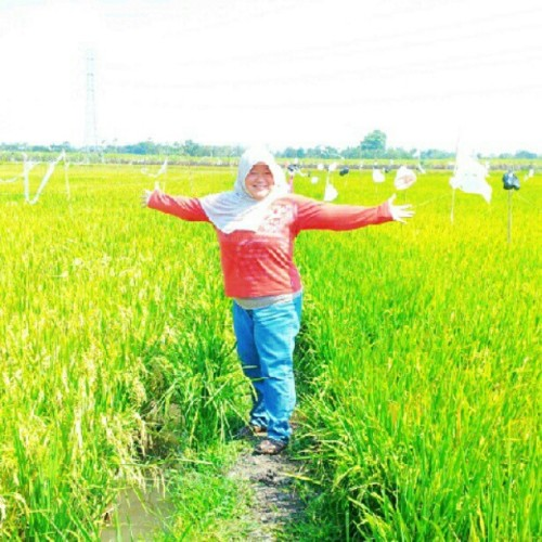 #rice #field #sawah #padi #panen #beautiful #indonesia #instagram #instaphoto #instaworld #android #androidphoto #pingram #pingramme #hellogram #instadaily #instacnvs #photooftheday #instago #instagramers #picoftheday #instacanvas #instadaily #instagramhub #gf_daily #gang_family #extragram  (Taken with Instagram)