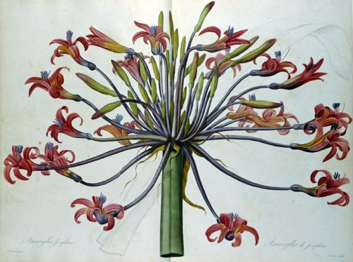 wallacegardens:  Amaryllis Josephine, Pierre Joseph Redouté, named after the Empress Josephine in 1817.  Botanical name: Brunsvigia josephinae