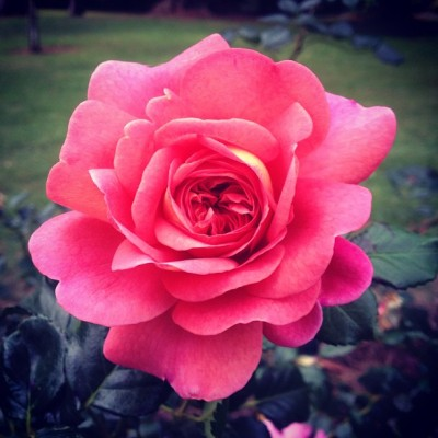 #picoftheday #australia #instagram #photography #rose (Taken with Instagram)