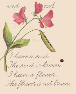 Sweet Pea flower and seed by katinthecupboard on Flickr.you're my sweet pea