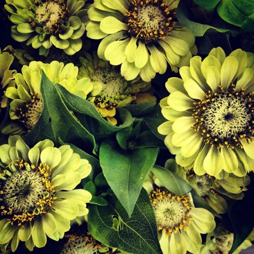 These pale green zinnias are my favorite (Taken with Instagram at Union Square Greenmarket)