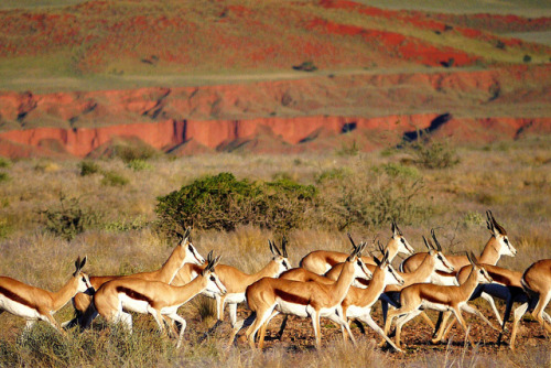 Springboks by David Cartier on Flickr.