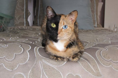 arpeggia:  Two-Faced Cat