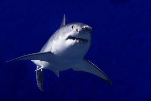 Some teeth! Today's fact for Shark Week: Despite popular perceptions of sharks as invincible, shark populations around the world are declining because of overfishing, habitat destruction and other human activities. That's why we're working hard to save sharks. Learn more about shark research and conservation at the Aquarium.
