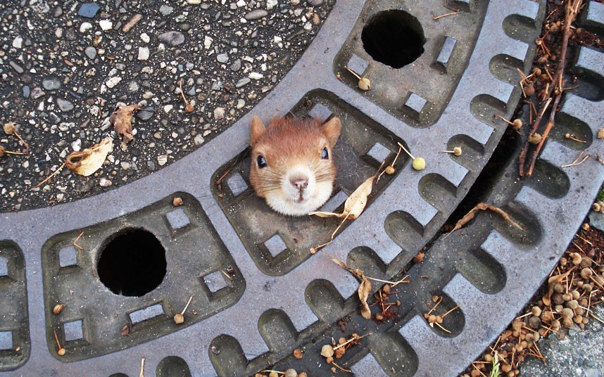 يا حرام !! A squirrel trapped in a manhole cover is seen in Isenhagen, northern Germany. Police managed to free the animal by using olive oil.Picture: Police Hanover/AP
