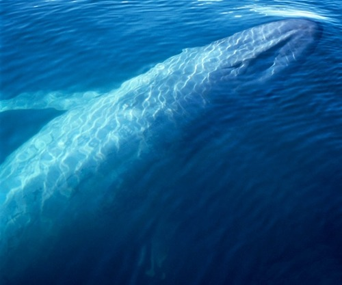 Blue Whale. (Source) Blue whales are the largest animals ever known to have lived on Earth. These magnificent marine mammals rule the oceans at up to 100 feet (30 meters) long and upwards of 200 tons (181 metric tons). Their tongues alone can weigh as much as an elephant. Their hearts, as much as an automobile. Blue whales have few predators but are known to fall victim to attacks by sharks and killer whales, and many are injured or die each year from impacts with large ships. Blue whales are currently classified as endangered on the World Conservation Union (IUCN) Red List.